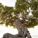 Divi Divi Tree by Eagle Beach